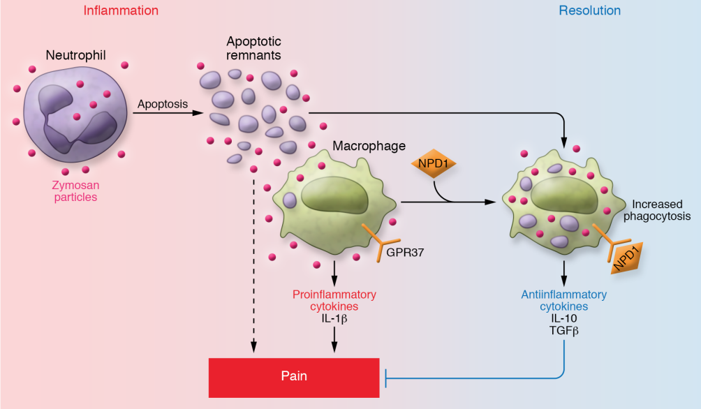GPR37's role in inflammation pathway